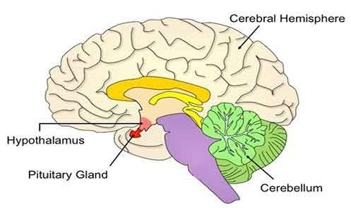picture of a brain with labels showing the Cerebral hemisphere, the hypothalamus, the pituitary gland, and the cerebellum